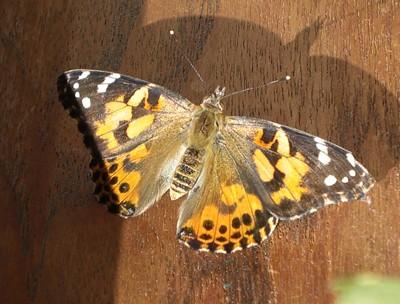11-okt-sommerfugl.jpg