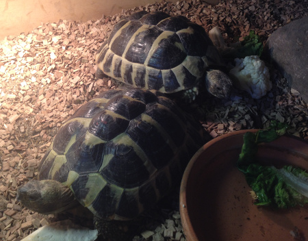 2-skildpadder.jpg